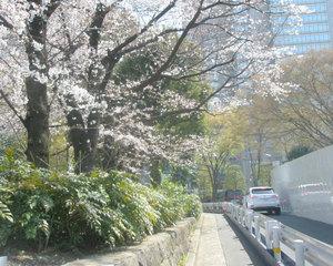 Sakurasaku1