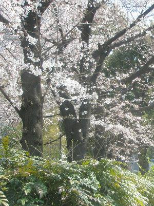 Sakurasakusono2