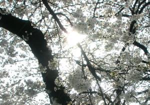 Sakura88